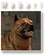 chien mabari