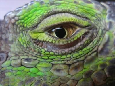 L'oeil d'un iguane