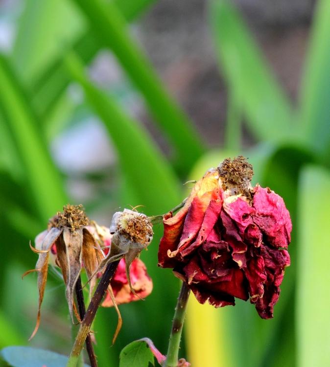 Et, roses, elles ont vécu....... Roses_fanees1750