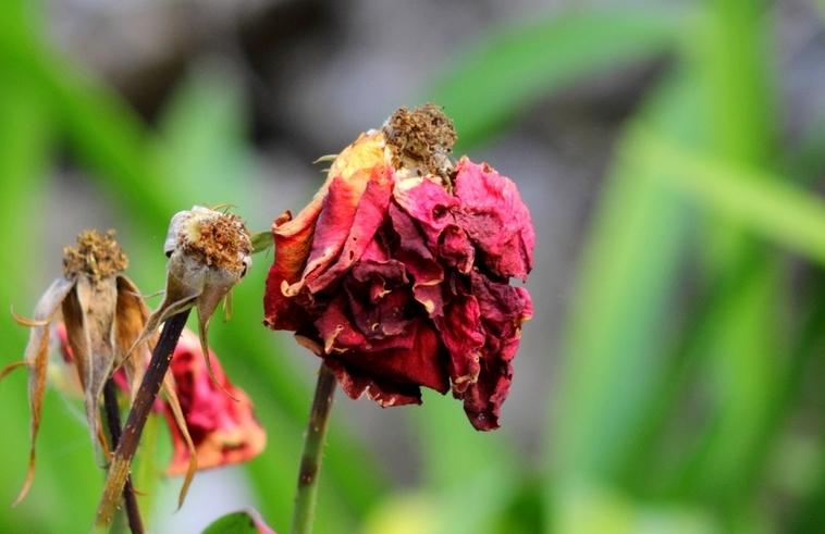 Et, roses, elles ont vécu....... Roses_fanees2800