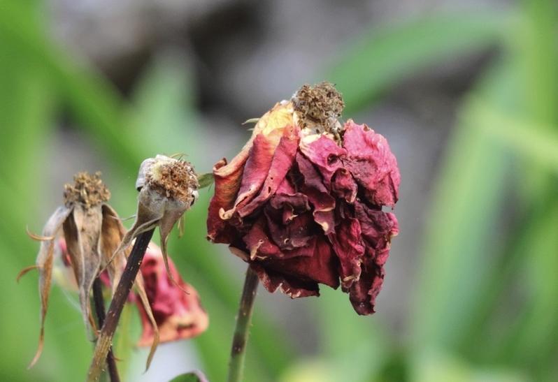 Et, roses, elles ont vécu....... Roses_fanees3800
